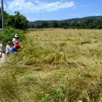 """DSC 4011 150x150 - """"İza Buğdayı"""" Bolu'nun Tescilli Ürünü Olacak"""