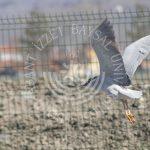 """IMG 1738 150x150 - BAİBÜ'den """"Yeniçağa Kuş Cenneti Avifaunası"""" Kitabı"""